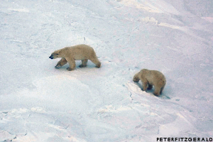 Polar bears as seen from a helicopter